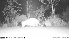 Momma Possum (artlessfun) Tags: opossum kalama artlessfun cowlitzcountywa trailcamphotos