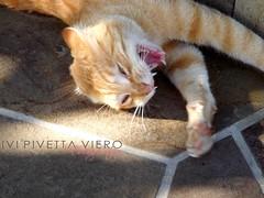 raaawwrr (Poison Ivi) Tags: animal animals cat kitten teeth kitty gato felino bocejo gatinho felin dentes rarw