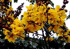 Summer ! (H G M) Tags: flowers copperpod yellowpoinciana radhachura goldenflamboyant