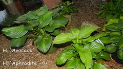 Garden13May691 (moccasinlanding) Tags: avocado aphrodite hosta 2012 hallson