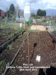 Plot 12A - Lettuce 'Little Gem' just transplanted 26-04-2013 (Davy1000) Tags: carrots leeks broadbeans onionsets earlypotatoes april2013 plot12a lettucelittlegem halfbed beetrootchioggia potatoesrocket