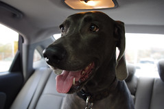 (Shane Henderson) Tags: dog car weimaraner cleo hyundai backseat northpark elantra mccandlesstownship