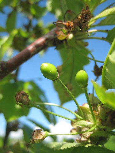 Green cherries