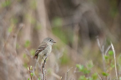 Hammond's Flycatcher? (Empidonax hammondii) 2 (Michael J Porter) Tags: bird birds britishcolumbia walkervalley 108mileranch