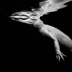 but my sorrows, they learned to swim (solecism) Tags: atlanta light blackandwhite bw white reflection dark georgia aquarium reptile teeth alligator albino georgiaaquarium