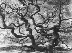 (Lesley Rivera) Tags: white black film landscape photography large arboretum 4x5 format ilford cylburn