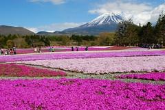 DSC_0213 (yhshangkuan) Tags: pink mountain lake flower field japan garden fuji  mtfuji yamanashi creepingphlox phloxsubulata  mosspink shibazakura  shibasakura fujikawaguchiko mossphlox mountainphlox