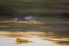 Ghost Flight (gseloff) Tags: birds texas pasadena greatblueheron armandbayou kayakphotography gseloff