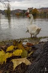 Appare strano (_milo_) Tags: italy lake foglie canon lago eos italia chiesa acqua autunno piena lagomaggiore oca santuario angera 18135 60d