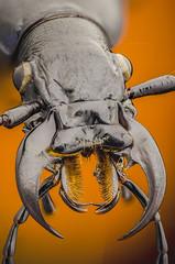 Mandiples of a Ground Beetle (bayramkus) Tags: macro nature animals closeup bug insect beetle insects bugs studioshot beetles makro animalplanet animalia entomology macrophotography bcek extrememacro carabidae doa focusstacking highmagnification canllar groundbeetle yaknekim bcekler entomoloji vahiyaam makrofotoraflk yksekbytme makrofotoraf lomo37x mandiples bayramkus bcekbilim