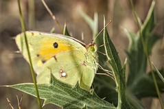 Colias crocea (Jaume Bobet) Tags: colias crocea lepidoptera pieridae mariposa insecto macro bobet canon sigma
