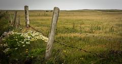 Field @ Spanish Point, Ireland (vonHabsburg) Tags: ireland field fence grass spanishpoint flowers wood clouds feld irland zaun gras blumen kamille holz wolken küste coast natur landschaft nature landscape