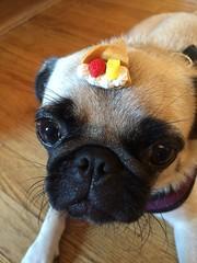 pug with crepe (wombatarama) Tags: pug