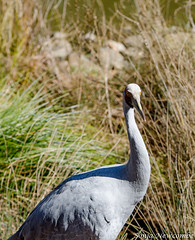 _SLN9728 (sonja.newcombe) Tags: tid tidbinbilla australia canberra wildlife brolga birds bird nikon d7000 sigmalens