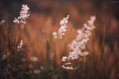 (M.K. Design) Tags: 2016                  taiwan nantou puli fall autumn micro macro nature scenery landscapes nikon d800e afs 105mmf14e ed tele primelens hdr bokeh