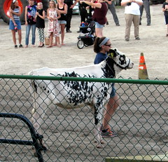 Holstein Cow. (dccradio) Tags: malone ny newyork franklincounty upstateny northernny hometownparade franklincountyfair fairgrounds parade track fair communityevent fun entertainment grandstandshow animals farmanimals ag agriculture agricultural cow holstein fence greenfence