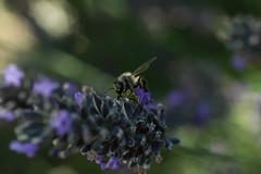 Abeille (didierdere) Tags: abeilles insectes plante fleur lavande nikon reflex d70
