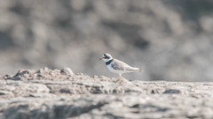 Ringed Plover on the mud banks of the creek between Titchwell and Brancaster in Norfolk. (Clive_Bushnell) Tags: coast eastanglia norfolktitchwell northsea rspb seaside shore summer uk seabird ringed plover muddy mudbank mud bank creek kenko 14x 300 dg