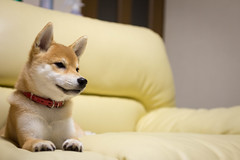 Yotsuba365 Day73 (Tetsuo41) Tags: dog shibainu yotsuba
