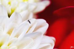 IMG_2355 (briejeshpatel) Tags: brijesh patel briejeshpatel karnataka flowershowaugust152016 macro flowers canon 7dcanon l lens dslrcanon 100mm f28l bangalore lalbagh flower show2016 f28 macrophotography macrography