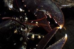 Press the button (Hommarus gammarus) (Arne Kuilman) Tags: zeeland diving duiken scubadiving netherlands oosterschelde nederland macro animals underwater inon diopter hommarusgammarus lobster kreeft