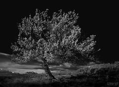 Autumn Colors (TorErikP) Tags: monochrome blackandwhite tree tre nordaurdal valdres norway norge