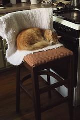 Cats are such wonderful opportunists. (rootcrop54) Tags: jimmy orange ginger tabby male cat chair kitchen silly boy macska kedi  koka kissa  kttur kucing gatto  kais kat katt katzen kot  maka maek kitteh chat