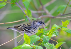 Blackpoll Warbler (av8s) Tags: blackpollwarbler warbler songbirds perchingbirds birds wildlife nature photography nikon d7100 sigma 120400mm mageemarsh ohio oh