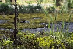Flore urbaine (Sarah Devaux) Tags: mauvaises herbes blés jaune vert marron goudron mousse base sousmarine bassin à flots bordeaux fleurs tiges
