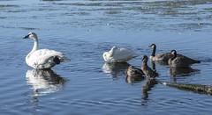 Trumpeter Swan / Canada Goose / Mallard (David Badke) Tags: colwood bc canada ca bird