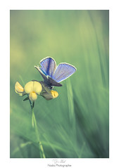 Metalic blue (Naska Photographie) Tags: naska photographie photo photographe paysage proxy proxyphoto papillon mc macro macrophotographie azur butterfly butterflie insectes volant extrieur eos canon sigma