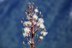 After flowering (Hugo von Schreck) Tags: outdoor flower blume blte macro makro hugovonschreck canoneos5dsr tamron28300mmf3563divcpzda010