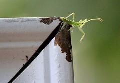Mantis (LouLou'sLoves) Tags: bug mantis green minnehaha minnesota