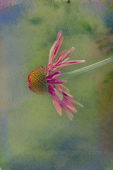 T4L Echinacea texures&Layers (peterz-i) Tags: flower echinacea pink red green yellow watercolor paper background