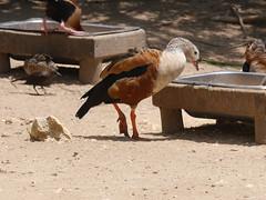 P2230533 (Gareth's Pix) Tags: aviarionacionaldecolombia baru colombia aviario bird