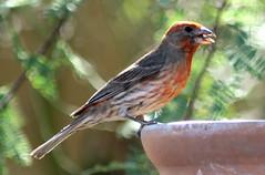 house finch (desertbunnee) Tags: housefinch finch bird