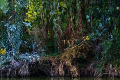 Sully-sur-Loire (yann.dimauro) Tags: extrieur france sully loire oiseau ornithologie fr sullysurloire yanndimauro loiret animaux faune centrevaldeloire