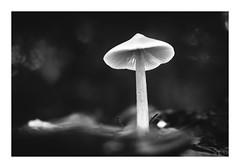 Spirits (davidpineros.com) Tags: davidpiñeros pineros fungi mushroom hongo nature wild seta