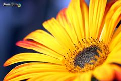 Mi flor especial (javierreyes.es) Tags: flor macro margarita mejor estambres