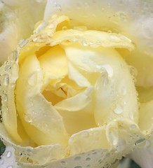 Drenched Peace Rose (markshephard800) Tags: jaune drenched soaked wet pale yellow flora fiori flores raindrops blumen bloemen fleurs fleur flowers flower peacerose rosa rose