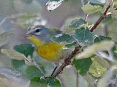 CAD0004675a (jerryoldenettel) Tags: 2016 nm northroosevelttrap northernparula parula parulidae passeriformes rooseveltco setophaga setophagaamericana bird passerine warbler woodwarbler