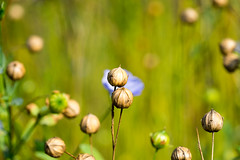 DSC01129.jpg (chagendo) Tags: pflanze makro makrofotografie sonyalpha7ii 90m28g outdoor