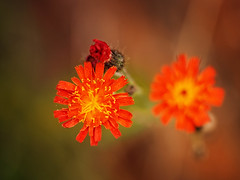 2016-09-18_15-29-10 (torstenbehrens) Tags: nature flower bokeh olympus ep5 sigma 60mm f28 dn digital camera flora natur on1 on1pic