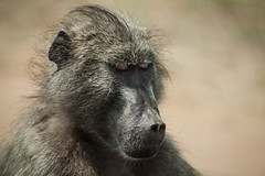 chacma baboon (Papio ursinus) (delimaaaaaaaaa) Tags: africa krugerpark southafrica safari travel trip frica viagem fricadosul reserva gamereserve