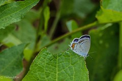 Copper (Yorkey&Rin) Tags: 2016 7月 butterfly copper em5 japan july lakeyamanaka olympus olympusm75300mmf4867ii rin t7241586 yamanashi シジミチョウ ツバメシジミ 花の都公園 山中湖 山梨県 蝶
