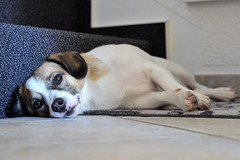 Goofy mde (bLiCk-WiNkL) Tags: dog little hund warten pet sleep waiting cute sweet puppy