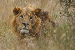 Lion Around (paulinuk99999 - just no time :() Tags: paulinuk99999 wildlife niarobi national park sal70400g kenya