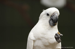 """""""Just as I was saying......"""" (JX76) Tags: white bird birdportrait canoneos700d jurongbirdpark singapore solo park nature"""