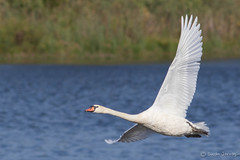 Swan Ballet (Susan Jarnagin) Tags: wildlife swan nj capemaypointstatepark capemaycounty cygnusolor birdinflight bird muteswan