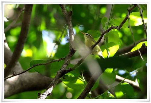 Timor Leaf-warbler@Rote Island_160805_2